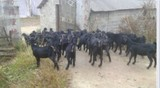 Nubia black goat fattening sheep seedlings